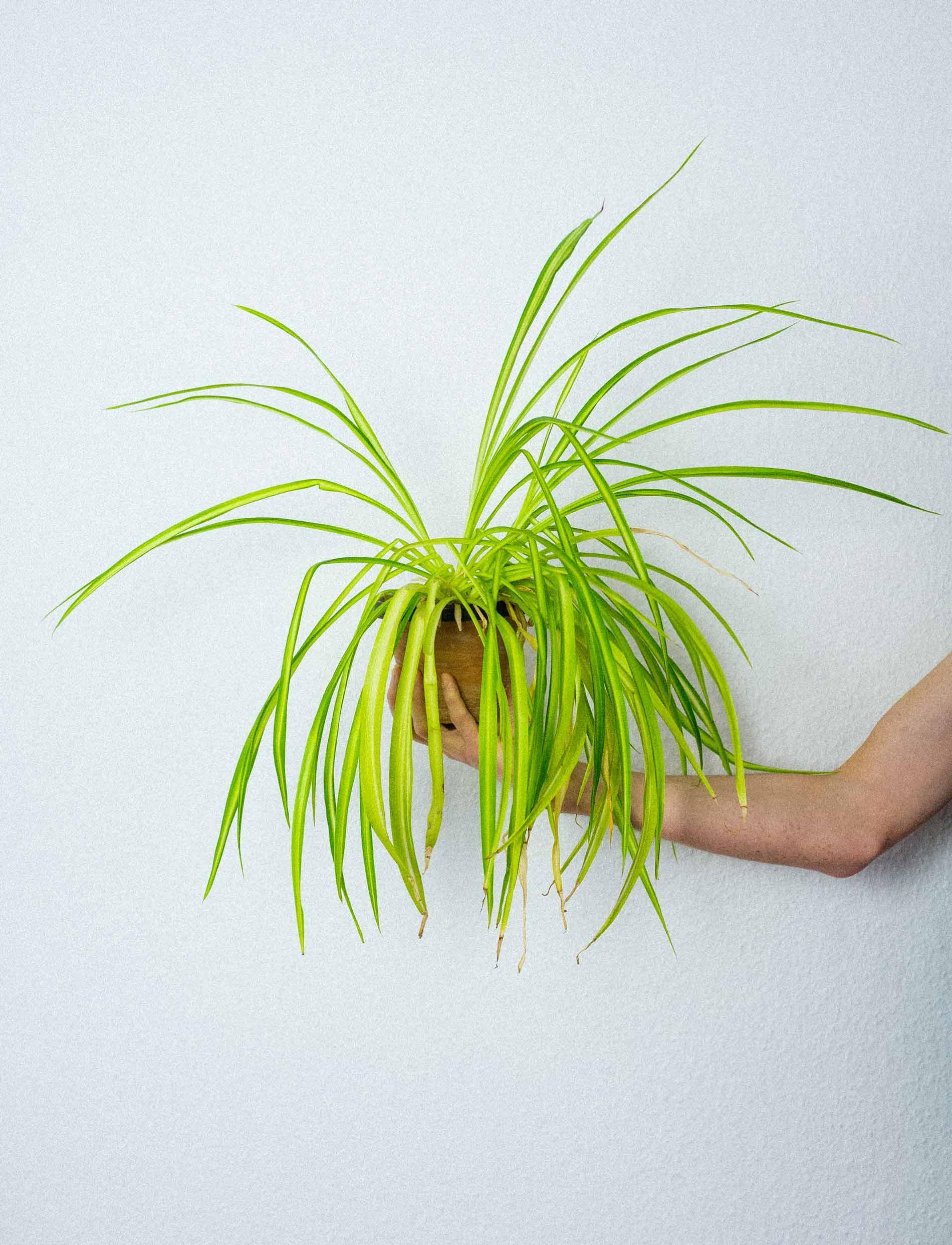 Everpress-blog-process-rio-sipos-iambabyking-plant